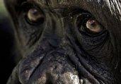 黑猩猩面部表情大搜集