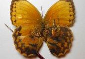 精美绝伦蝶翼上的风景画