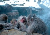 日本雪猴惬意享受温泉